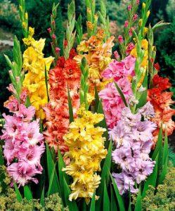 gladioli-august-flower-249x300